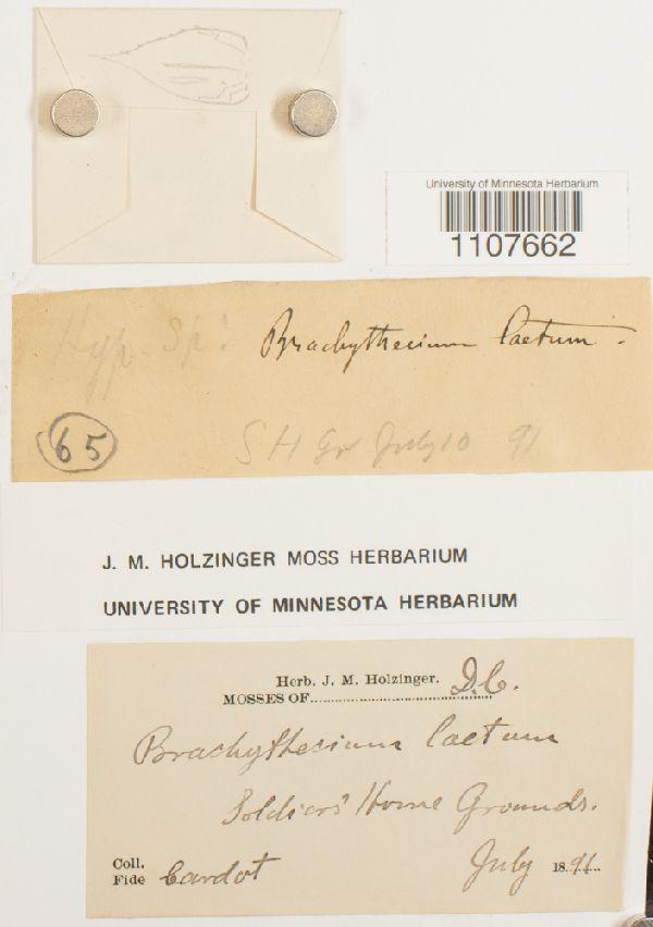 Brachythecium laetum image