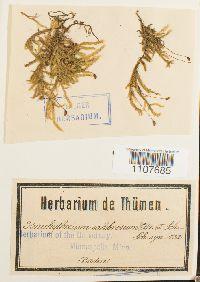 Image of Brachythecium salebrosum