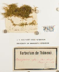 Brachythecium reflexum image