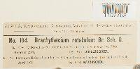 Brachythecium rutabulum image