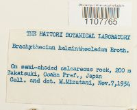 Brachythecium helminthocladum image