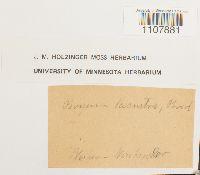 Bryoerythrophyllum recurvirostrum image