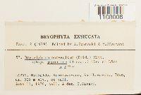 Bryoxiphium japonicum image