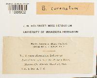 Bryum coronatum image