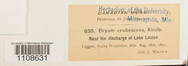 Bryum erubescens image