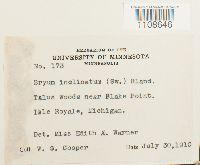 Bryum amblyodon image