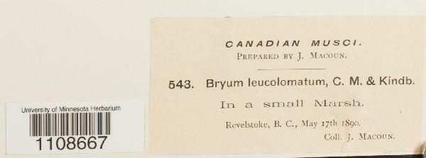 Bryum leucolomatum image