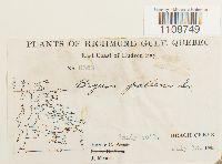 Ptychostomum pallens image
