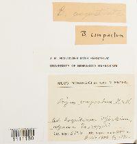 Bryum algovicum var. algovicum image