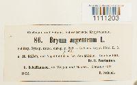 Bryum argenteum image