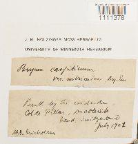 Bryum caespiticium image