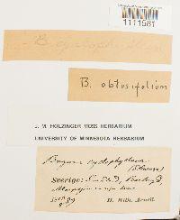 Bryum cyclophyllum image