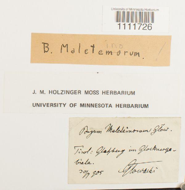 Bryum maleteinorum image