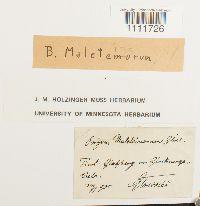Image of Bryum maleteinorum