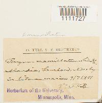Image of Bryum mamillatum