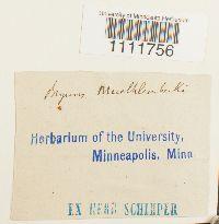 Imbribryum muehlenbeckii image