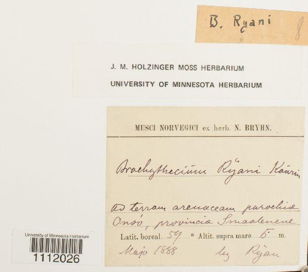 Brachythecium ryanii image