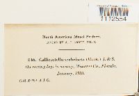 Callicostella pallida image