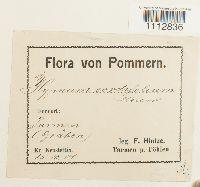 Calliergon cordifolium image