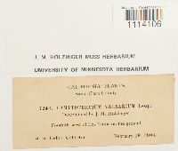 Homalothecium arenarium image