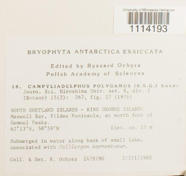 Campyliadelphus polygamus image