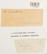 Campylium chrysophyllum image