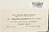 Campylium polygamum image