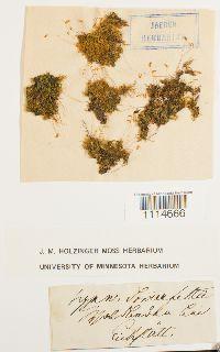 Campylium hispidulum image