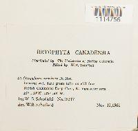 Campylopus atrovirens image