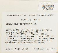 Campylopus occultus image