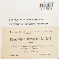 Campylopus flexuosus image