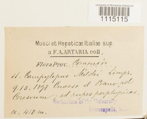 Campylopus oerstedianus image
