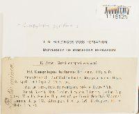 Campylopus pyriformis image