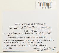 Campylopus catarractilis image