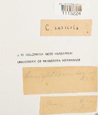 Campylostelium saxicola image