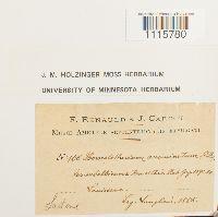 Brachythecium acuminatum image