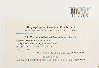 Chandonanthus setiformis image