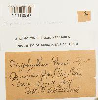 Bryoandersonia illecebra image
