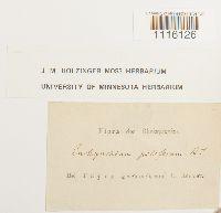 Cirriphyllum piliferum image