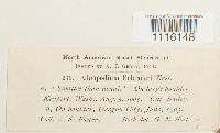 Claopodium bolanderi image