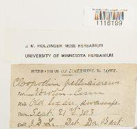 Claopodium pellucinerve image
