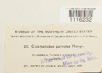 Clasmatodon parvulus image