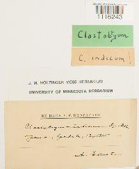Image of Clastobryum indicum