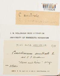 Image of Conostomum pentastichum
