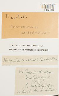 Conostomum tetragonum image