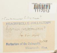 Cratoneuron filicinum image