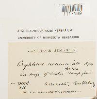 Cryphaea acuminata image