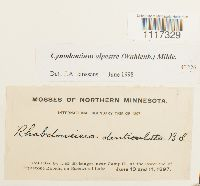 Cynodontium alpestre image
