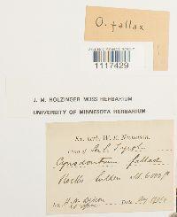 Image of Cynodontium fallax