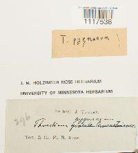 Cyrto-hypnum pygmaeum image